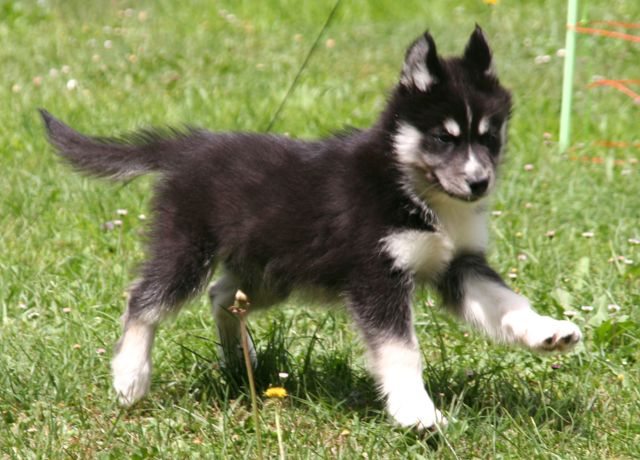 chiot husky type loup