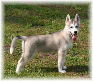 chiot husky male