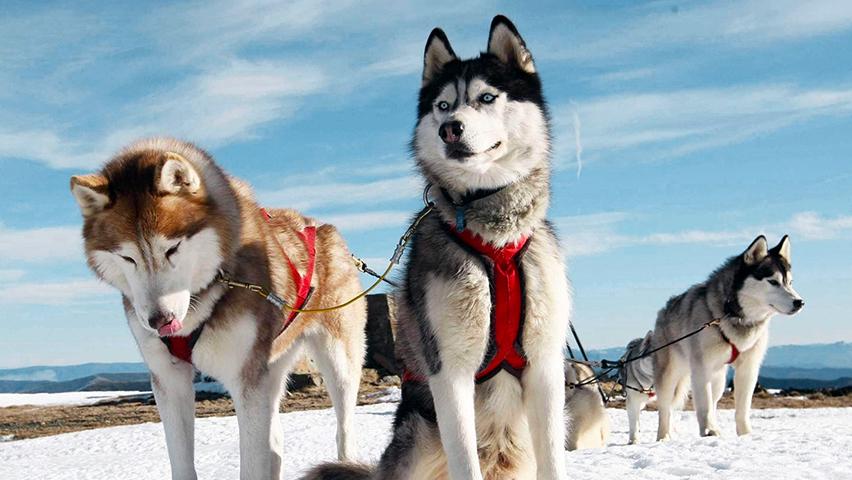 Le husky, chien de traîneau parfait