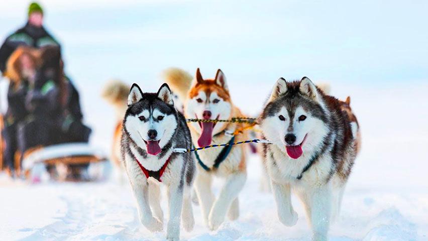 Documentation autour du husky Sibérien