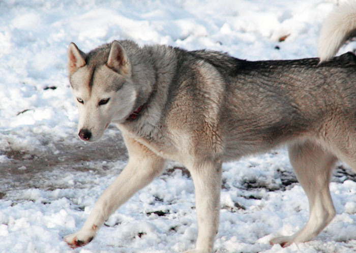 Husky femelle couleur loup