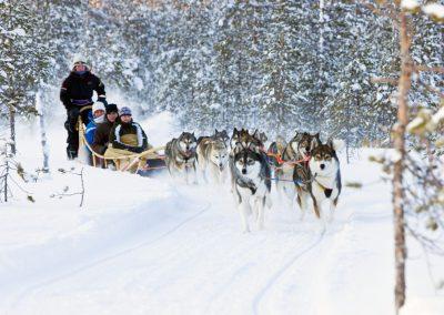 Groupe de huskies pour course de traineau