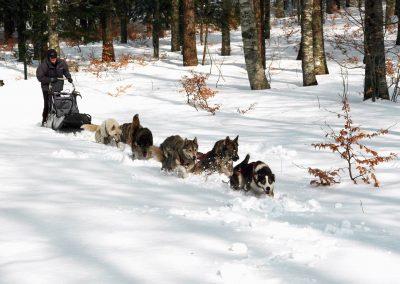 Huskies sur un traineau dans le Vercors