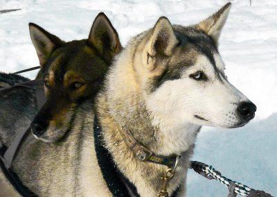 Huskies à vendre en France