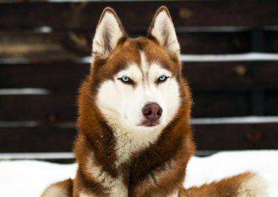 Husky marron aux yeux bleus à vendre