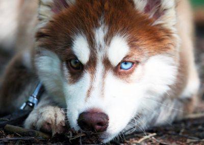 Husky marron avec des yeux de couleurs différentes