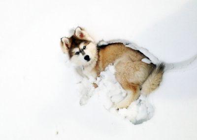 Husky marron et blanc dans le neige