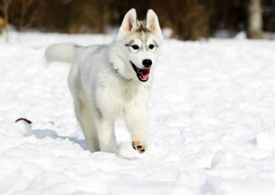 Où acheter un Husky ?
