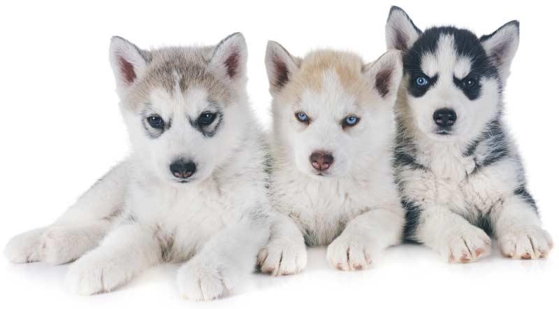 Trois jeunes chiots Husky à acheter
