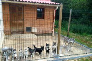 Nurserie et salle de mise bas chiot Husky LOF
