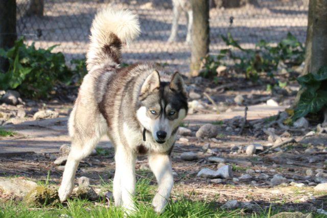 Husky loup chien de traineau