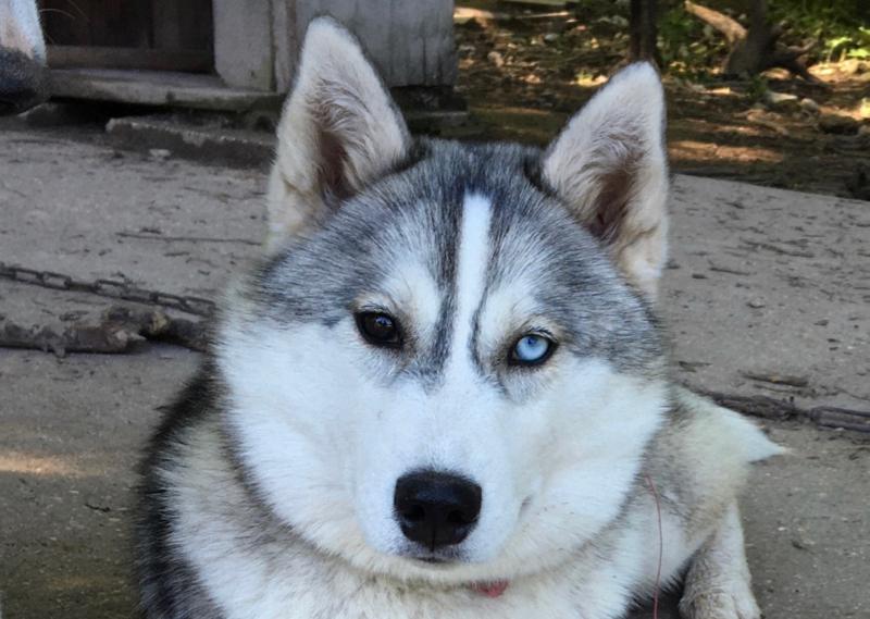 Mère de jeune chiots Husky à vendre